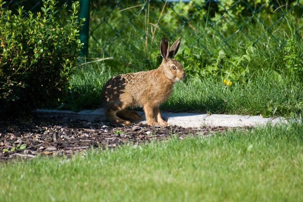 Hase in Habachtstellung