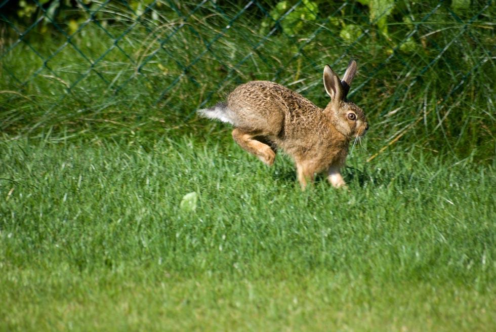Springender Hase in unserem Garten - 2