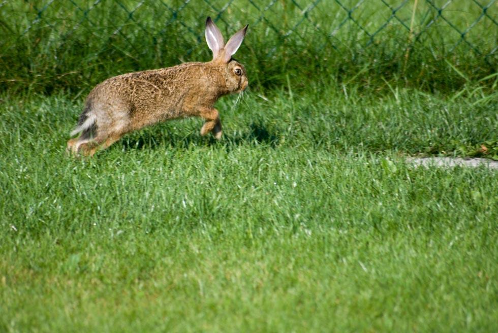 Springender Hase in unserem Garten
