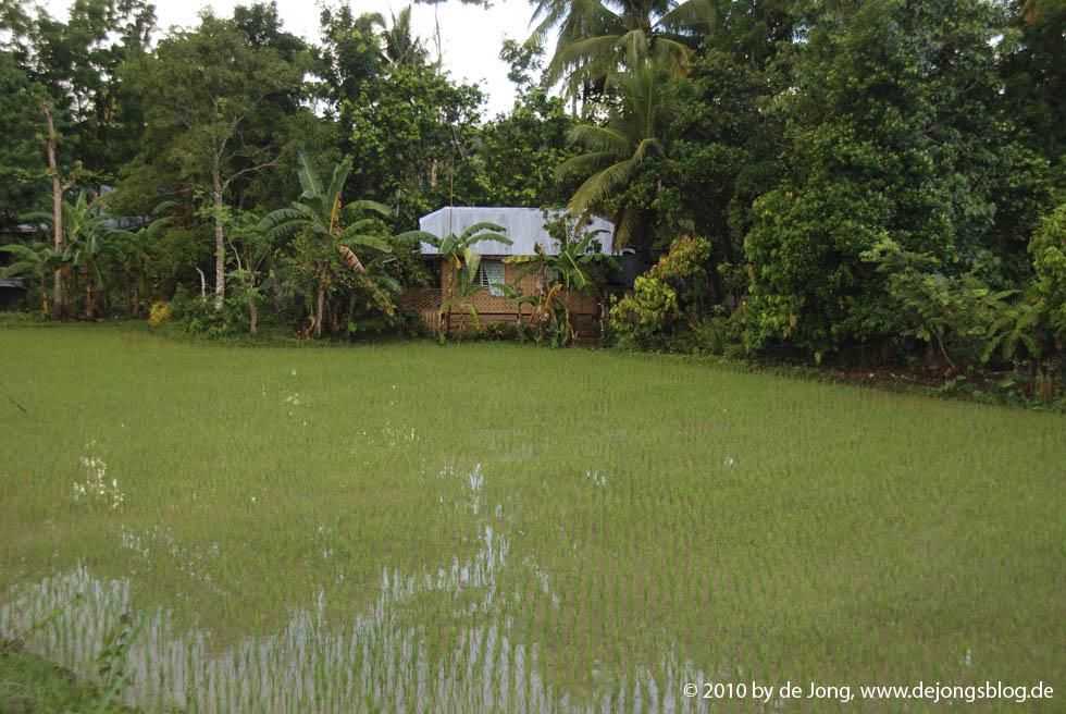 Reisfeld mit Haus