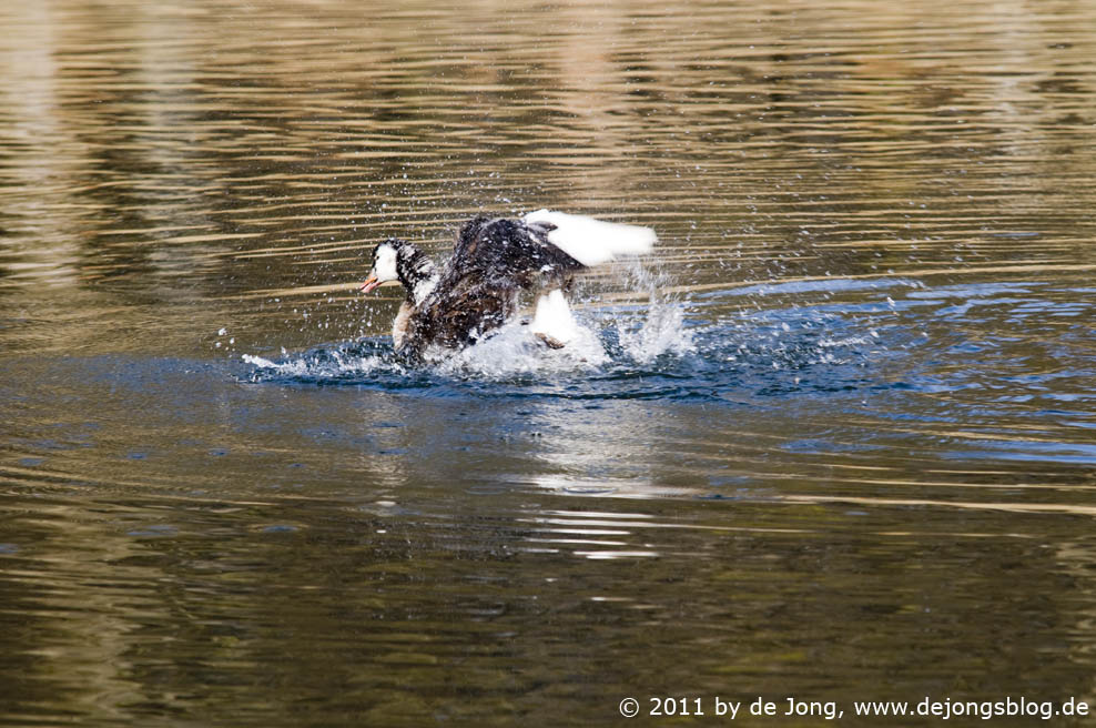 Ente beim Putzen
