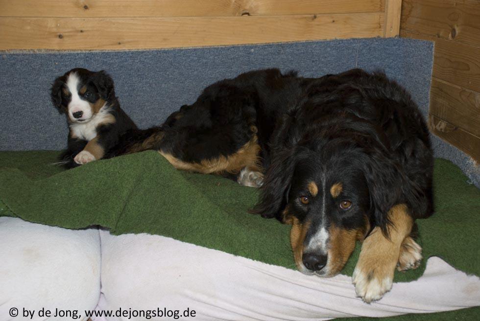 Berner Sennenhund - Mutter mit einem Welpen