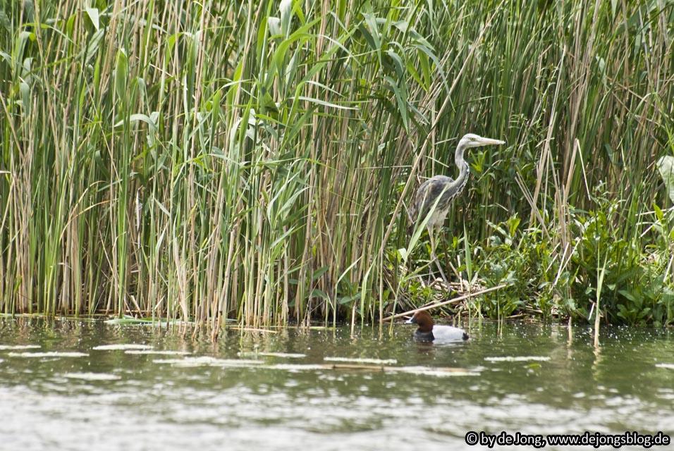 Fischreiher und Ente im Schilf