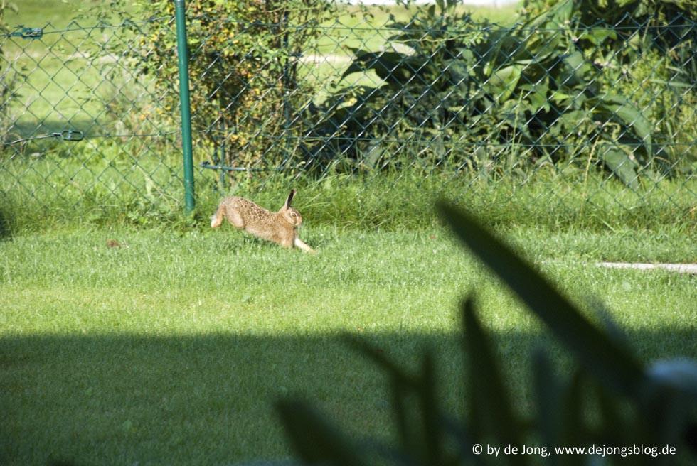 Hase auf der Flucht in unserem Garten