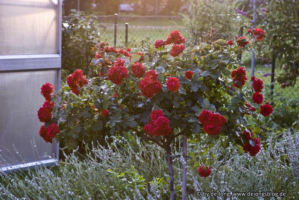 Roter Rosenbaum im Garten