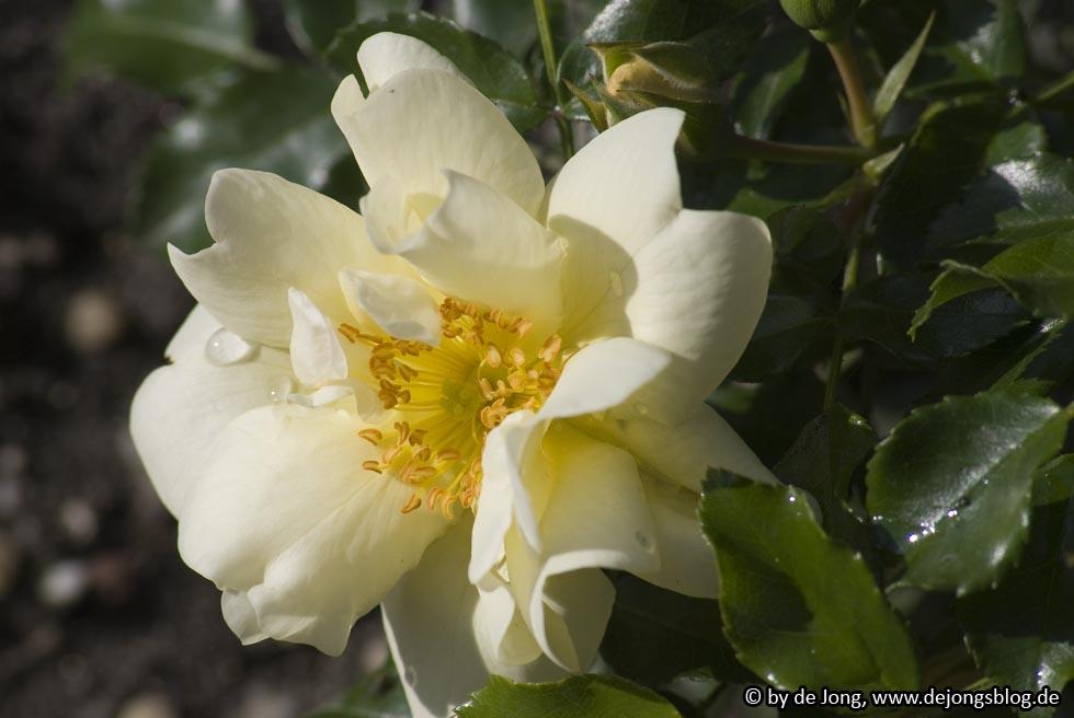 Rosenblüte von Bodendeckerrose