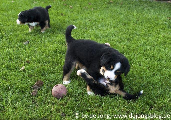Berner Sennenhund - Tollende Welpen