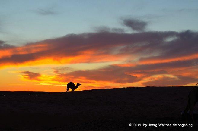 Kamel in der Wüster
