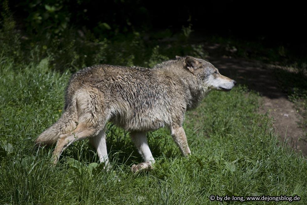 Europäischer Wolf - Tierpark Hellabrunn