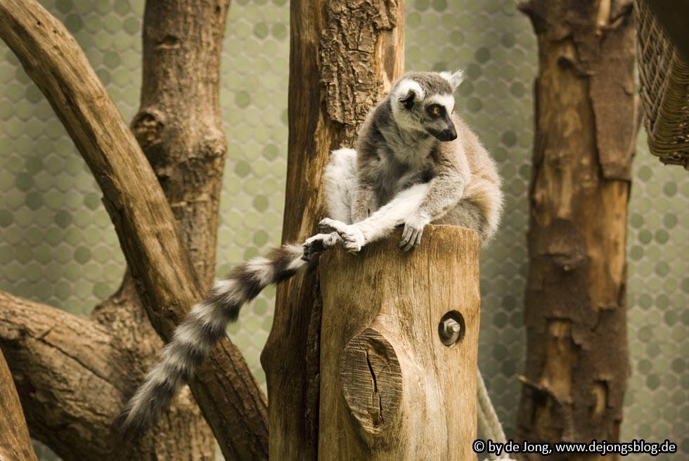 Katta Affe - Tierpark Hellabrunn