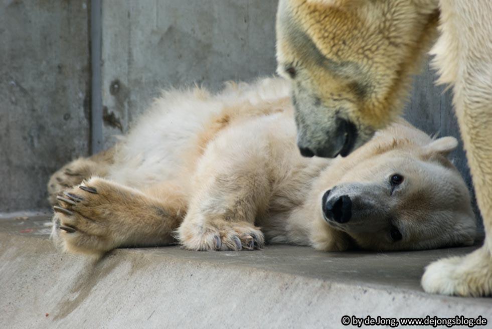 Eisbär - Tierpark Hellabrunn