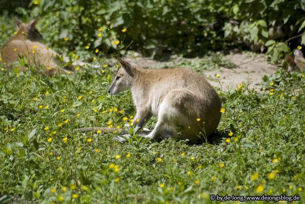 "Känguruh ""Flinkwallaby"" - Tierpark München"
