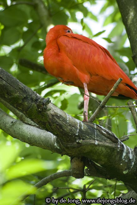 Roter Sichler - Tierpark Hellabrunn
