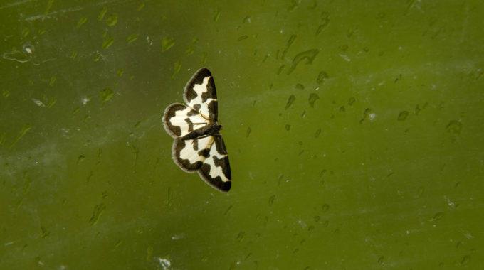 Weiss Schwarzer Schmetterling