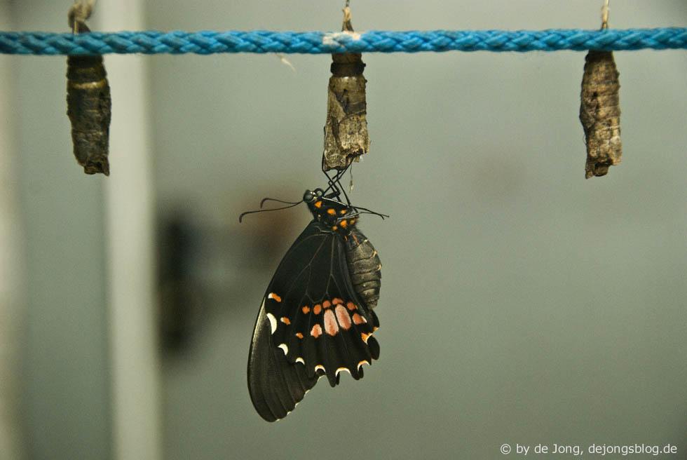 Schmetterling beim Schlüpfen